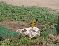Image of: Ploceus melanocephalus (black-headed weaver)