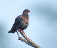 Red-billed Pigeon (Columba flavirostris) photo