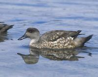 Crested Duck (Anas specularioides) photo