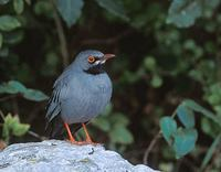 Red-legged Thrush (Turdus plumbeus) photo