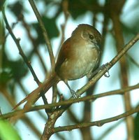 Plain-crowned Spinetail - Synallaxis gujanensis