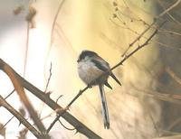 Long-Tailed Tit Aegitalos caudatus 오목눈이