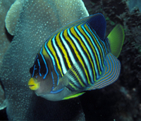 : Pygoplites diacanthus; Royal Angelfish