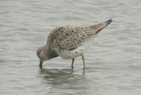 Great knot - Yatsu Higata Nature Observation Center, Chiba, Japan, April 12, 2003