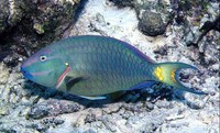 Sparisoma viride, Stoplight parrotfish: fisheries, aquarium
