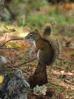 Image of: Tamiasciurus hudsonicus (red squirrel)