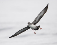 Pink-footed Shearwater (Puffinus creatopus) photo