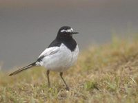 Japanese Wagtail (Motacilla grandis) photo