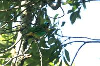 Brassy-breasted  tanager   -   Tangara  desmaresti   -