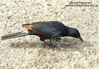 : Onychognathus morio; Red-winged Starling