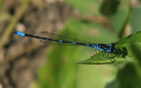 : Coenagrion pulchellum; Variable Damselfly