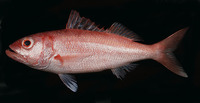 Etelis carbunculus, Ruby snapper: fisheries, gamefish