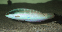 Coris dorsomacula, Pale-barred coris: aquarium