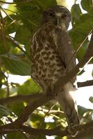 Image of: Ninox scutulata (brown hawk-owl)
