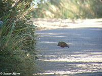 Painted Bush Quail - Perdicula erythrorhyncha