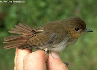 Cryptic Flycatcher - Ficedula crypta