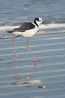 White-backed Stilt - Himantopus melanurus