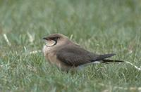Oriental Pratincole (Glareola maldivarum) photo
