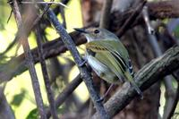 Rusty-fronted  tody-flycatcher   -   Todirostrum  latirostre