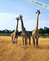 Masai Giraffes (Giraffa camelopardalis) photo