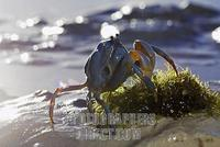 Soldier crab in the sand , Philippines stock photo
