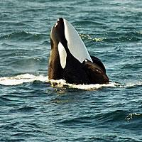 Spy Hopping Killer Whale