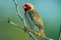 : Quelea quelea; Red-billed Quelea