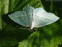 Campaea margaritaria - Light Emerald