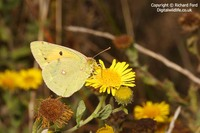 Colias croceus - Clouded Yellow