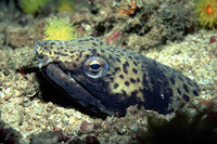 Ophichthus ophis, Spotted snake eel: fisheries, bait
