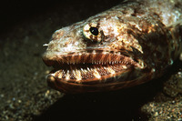 Saurida gracilis, Gracile lizardfish: fisheries