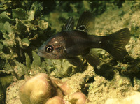 Apogon melas, Black cardinalfish: