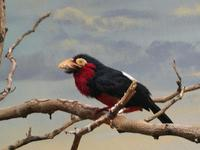Image of: Lybius dubius (bearded barbet)