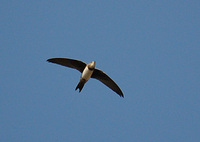 Alpine Swift - Tachymarptis melba