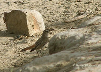 Rufous-tailed Scrub Robin - Cercotrichas galactotes