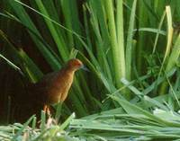 Ruddy-breasted Crake (Porzana fusca) photo