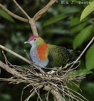 Superb Fruit-Dove - Ptilinopus superbus