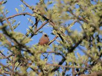 Black-cheeked Waxbill - Estrilda erythronotos
