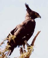 Schopfadler/ Long-crested eagle (Lophaetus occipitalis)