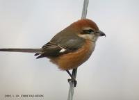 Bull-Headed Shrike Lanius bucephalus 때까치