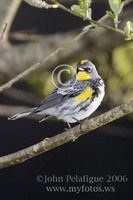 : Dendroica coronata; Yellow-rumped Warbler