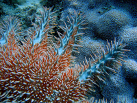 : Acanthaster planci; Crown-of-thorns Sea Star