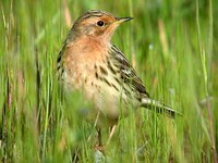 붉은가슴밭종다리 Anthus cervinus | red-throated pipit