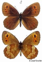 Erebia aethiops - Scotch Argus