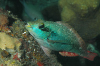 Sparisoma aurofrenatum, Redband parrotfish: fisheries, aquarium