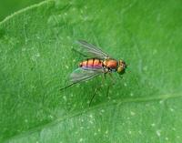 Image of: Dolichopodidae (longlegged flies)