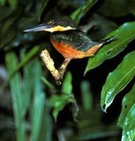 Image of: Chloroceryle americana (green kingfisher)