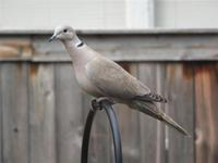 Image of: Streptopelia decaocto (Eurasian collared-dove)