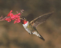 Broad-tailed Hummingbird (Selasphorus platycercus) photo