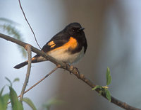 American Redstart (Setophaga ruticilla) photo